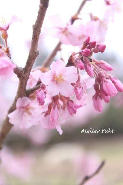 桜^^_f0240834_20512933.jpg
