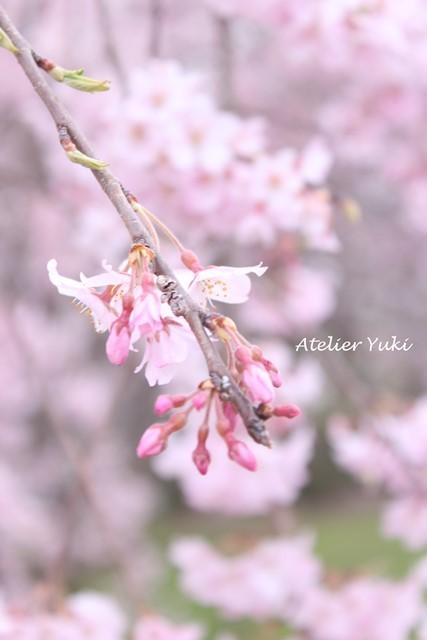 桜^^_f0240834_20521556.jpg