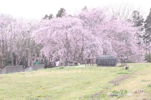桜^^_f0240834_20531260.jpg