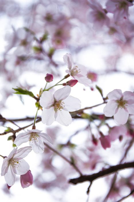 桜 さくら sakura ✿_b0098139_22570098.jpg