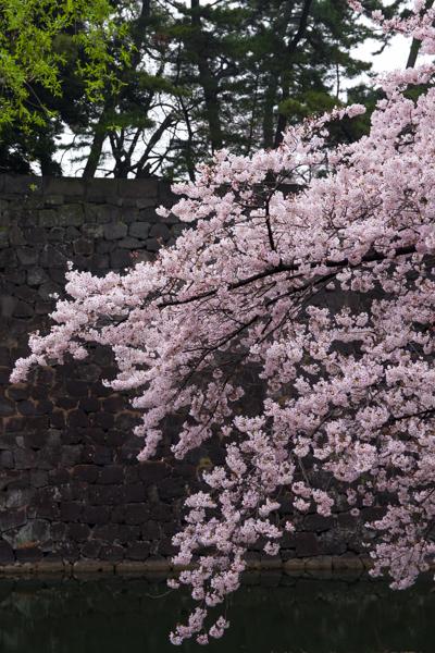 桜 さくら sakura ✿_b0098139_23160715.jpg