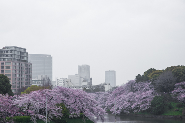 桜 さくら sakura ✿_b0098139_23584763.jpg