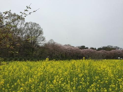 巾着田の菜の花まつり~_c0331145_1721322.jpg