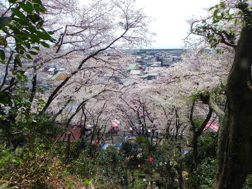 新蒲原の桜_c0087349_87443.jpg