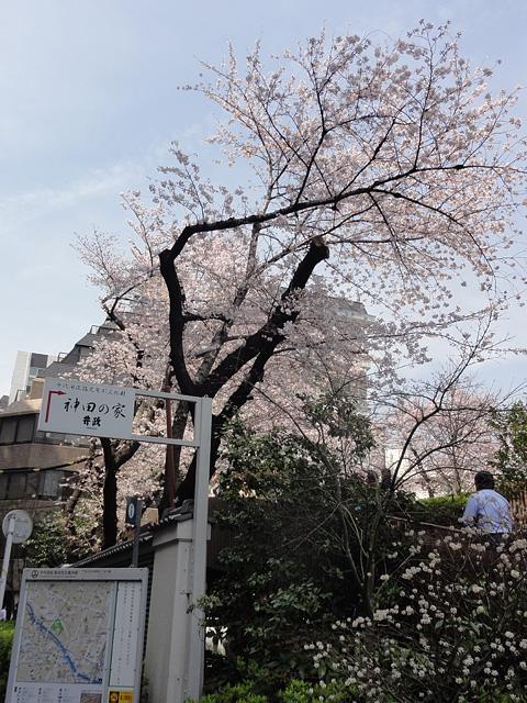 神田明神の桜 (2016/3/31、4/6)_b0006870_18211930.jpg