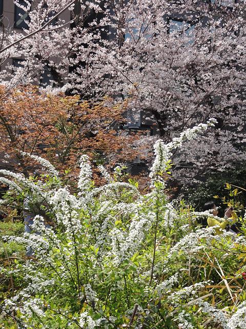 神田明神の桜 (2016/3/31、4/6)_b0006870_18213951.jpg