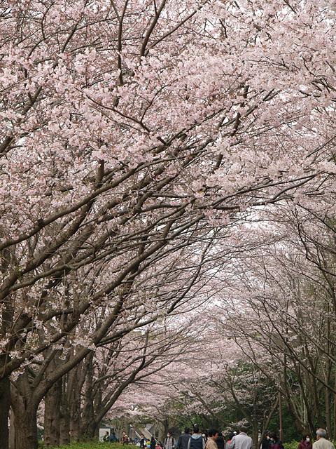 青葉の森公園の桜、初めて・・・ (2016/4/3)_b0006870_19445652.jpg