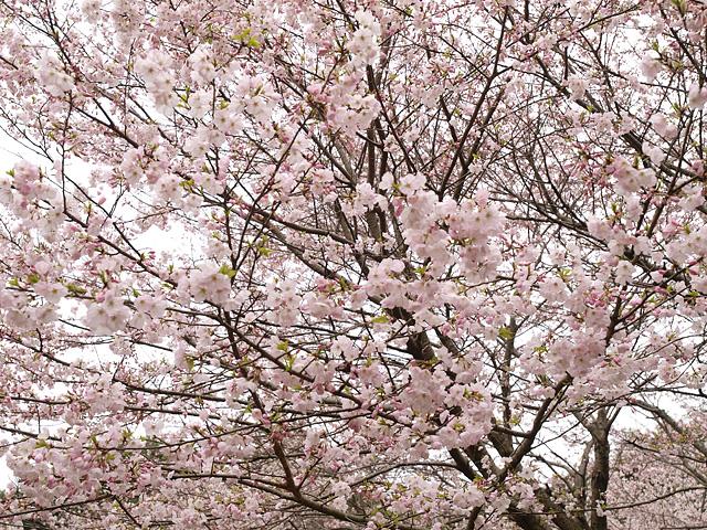 青葉の森公園の桜、初めて・・・ (2016/4/3)_b0006870_19452575.jpg