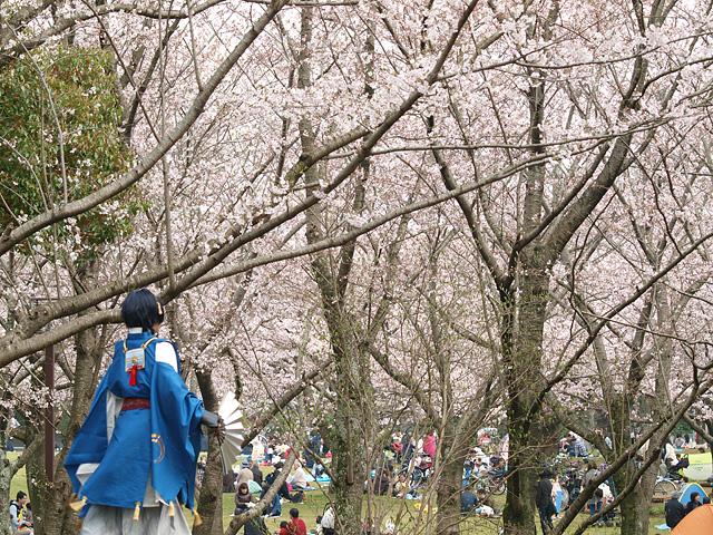 青葉の森公園の桜、初めて・・・ (2016/4/3)_b0006870_19453715.jpg