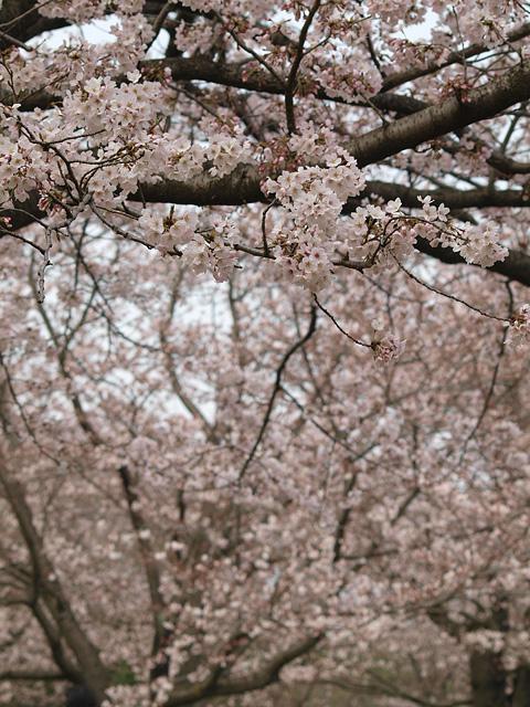 青葉の森公園の桜、初めて・・・ (2016/4/3)_b0006870_19455216.jpg