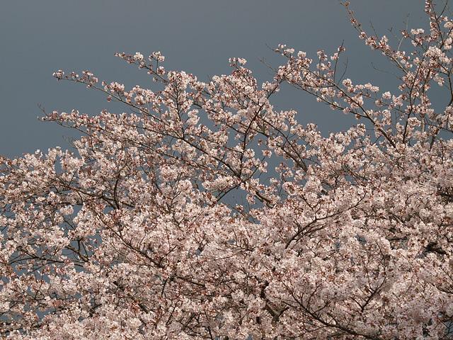 青葉の森公園の桜、初めて・・・ (2016/4/3)_b0006870_19461663.jpg