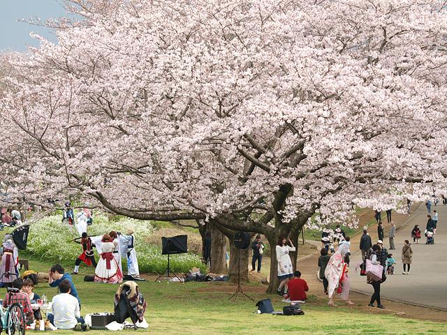 青葉の森公園の桜、初めて・・・ (2016/4/3)_b0006870_1946480.jpg