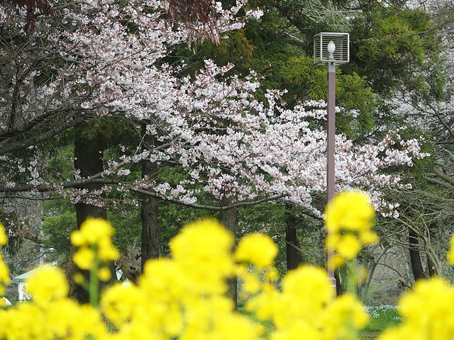 青葉の森公園の桜、初めて・・・ (2016/4/3)_b0006870_19465680.jpg