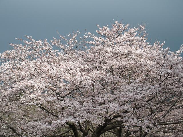 青葉の森公園の桜、初めて・・・ (2016/4/3)_b0006870_19471065.jpg