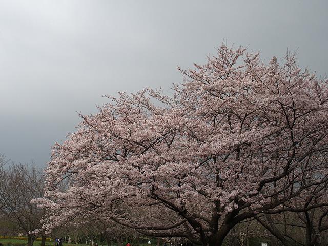 青葉の森公園の桜、初めて・・・ (2016/4/3)_b0006870_19472544.jpg