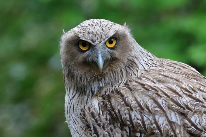 鋭い表情で遠くを見つめるシマフクロウ