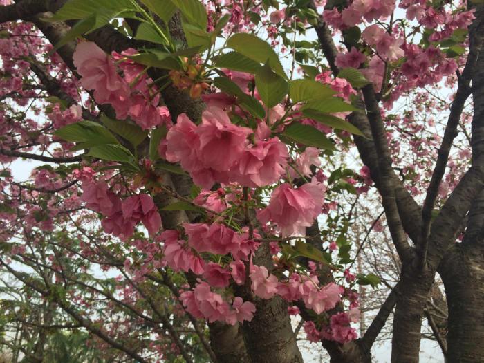 八重桜_e0233674_14241793.jpg