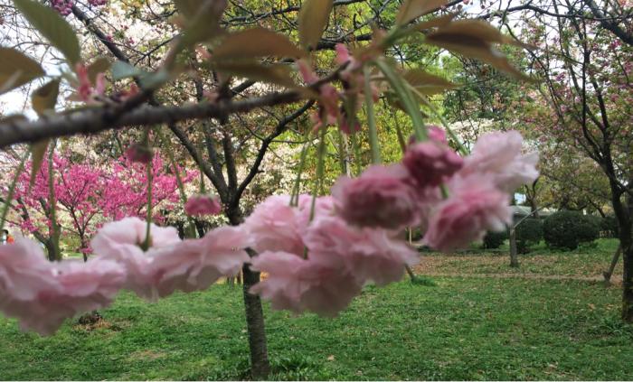 八重桜_e0233674_14241883.jpg