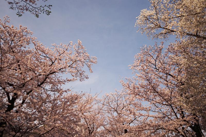 春の桜と、冬越えのシソ_a0024690_17381002.jpg