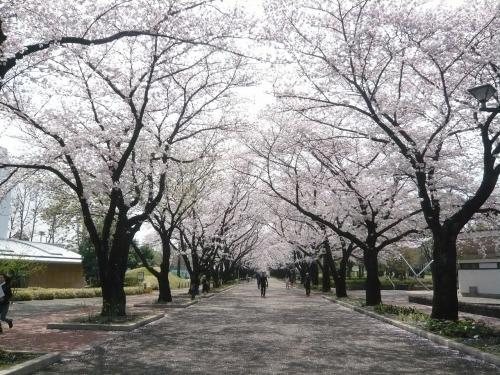 ポタリング 「桜」花見・東郷寺Ⅱ_a0262093_16491608.jpg
