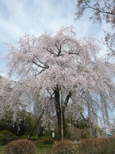 ポタリング 「桜」花見・東郷寺Ⅱ_a0262093_17331495.jpg