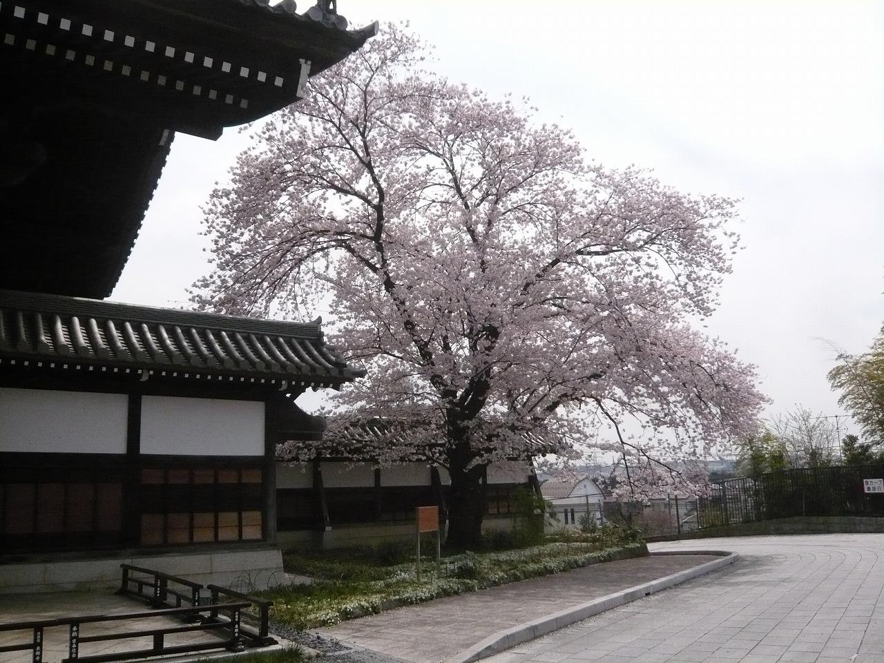 ポタリング 「桜」花見・東郷寺Ⅱ_a0262093_17375354.jpg