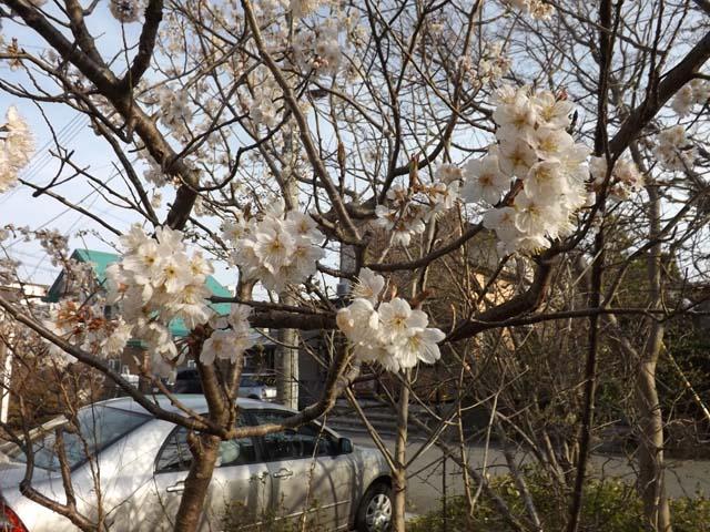 さくらんぼの花が咲いた&自家製いちごジャム_f0019498_17401185.jpg
