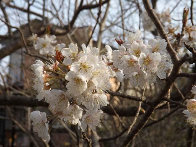 さくらんぼの花が咲いた&自家製いちごジャム_f0019498_17401915.jpg