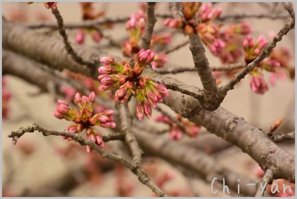 山桜の散るまで_e0219011_1017207.jpg