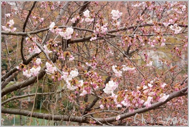 山桜の散るまで_e0219011_1017458.jpg
