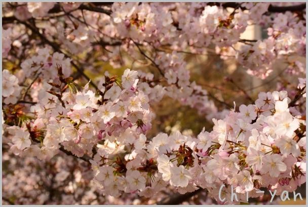 山桜の散るまで_e0219011_10175992.jpg