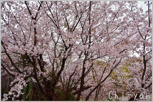 山桜の散るまで_e0219011_10182460.jpg