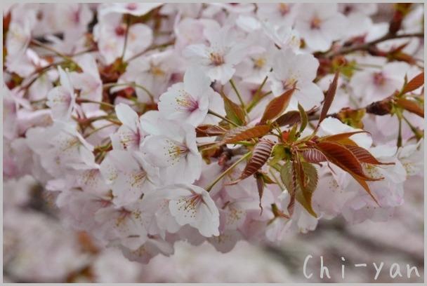 山桜の散るまで_e0219011_10183894.jpg
