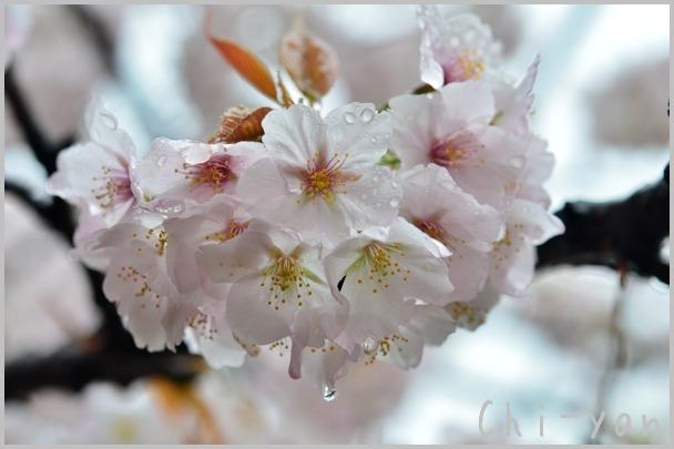 山桜の散るまで_e0219011_10185348.jpg