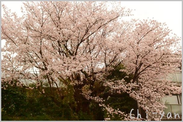 山桜の散るまで_e0219011_1018928.jpg