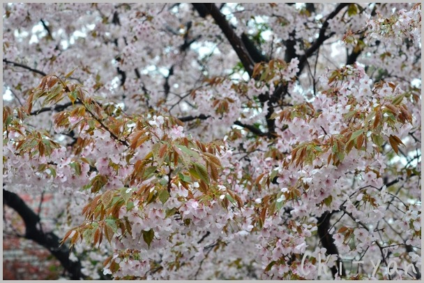 山桜の散るまで_e0219011_10193815.jpg
