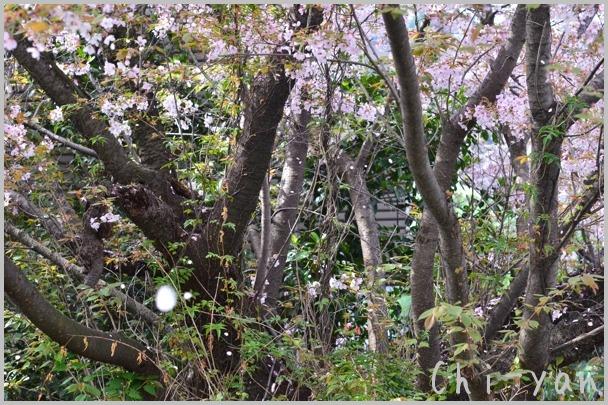 山桜の散るまで_e0219011_10195610.jpg