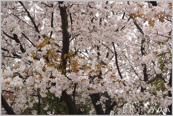 山桜の散るまで_e0219011_1019920.jpg