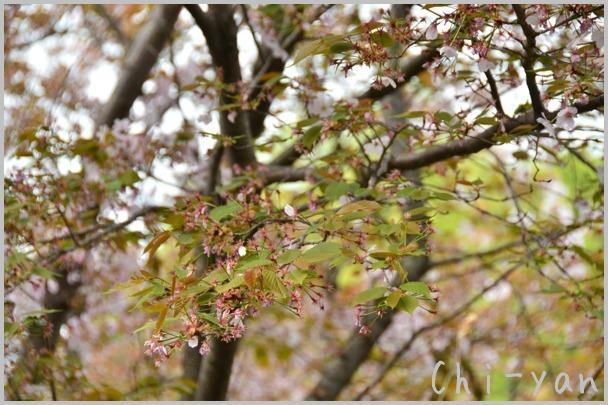 山桜の散るまで_e0219011_10202029.jpg
