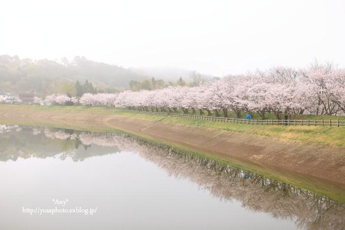 今年の桜は_e0347431_20330025.jpg