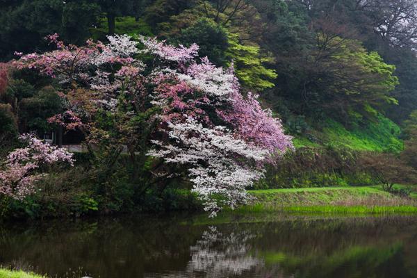 桜 さくら sakura ✿_b0098139_00052893.jpg