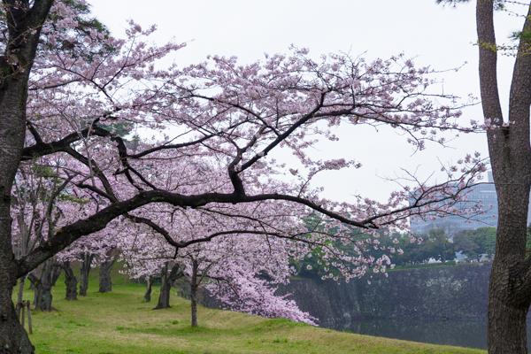 桜 さくら sakura ✿_b0098139_00061639.jpg