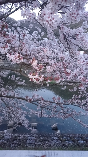 桜_a0111845_23071891.jpg