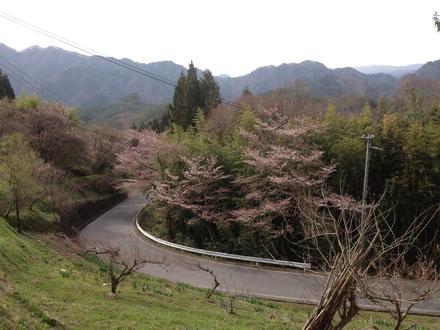 桜の開花状況_d0249047_11595480.jpg