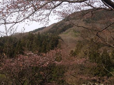 桜の開花状況_d0249047_122532.jpg