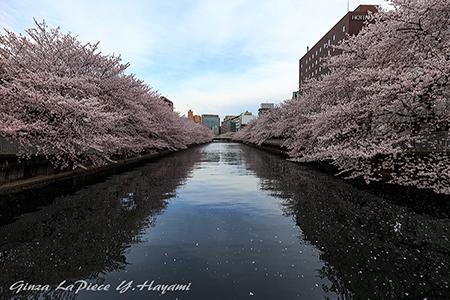 花のある風景 大横川のソメイヨシノ_b0133053_0565691.jpg