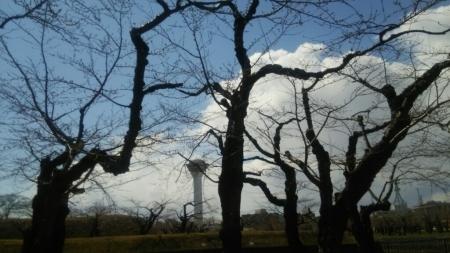 五稜郭公園の桜の写真。開花予想は、_b0106766_11071454.jpg