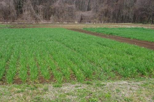 小麦(2016)が青々としてきた_c0110869_658261.jpg