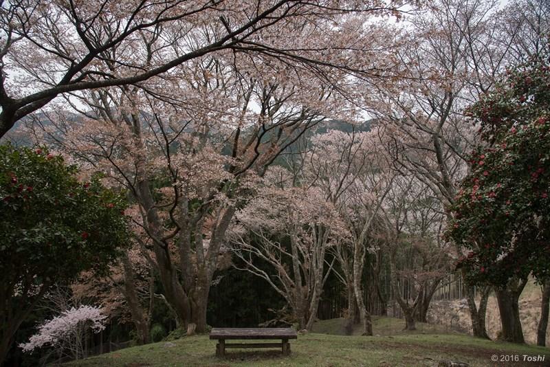 山桜 満開_c0350572_21204415.jpg