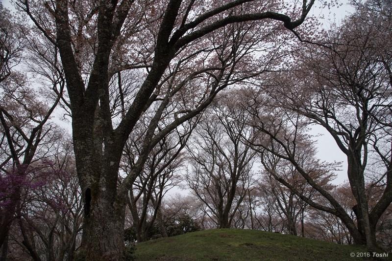 山桜 満開_c0350572_21205083.jpg